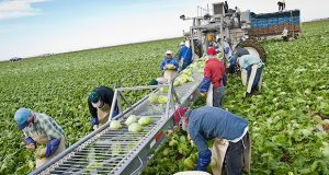 Farmworkers pick lettuce in Yuma in this 2013 file photo. The Yuma area is routinely among the top regions in the U.S. for the number of H-2A visas issued for temporary immigrant workers. (Photo by Michel Duarte/Cronkite Borderlands Initiative)
